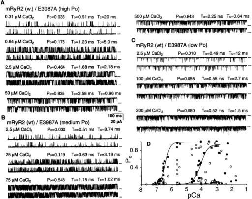 Ca2+ responses of single channels produced by coexpression of the wt and E3987A mutant RyR2 proteins in HEK293 cells. HEK293 cells were transfected with an equal amount (6 μg) of wt and E3987A mutant RyR2 cDNA. The Ca2+ responses of single hybrid channels with high Po (A), medium Po (B), and low Po (C) were determined as described in the legend to Fig. 2. Single-channel activities shown in A and B were inhibited by addition of 0.1 mM EGTA to the cis chamber, indicating that the cytoplasmic side of the incorporated channel was facing the cis chamber. On the other hand, single-channel activities shown in C were inhibited by addition of 0.1 mM EGTA to the trans chamber, indicating that the cytoplasmic side of the incorporated channel was facing the trans chamber. To measure currents in the same direction, from the luminal to the cytoplasmic side of the channel, a +20-mV holding potential was applied in A and B and −20 mV in C. The Po-pCa relationships of single hybrid channels are shown in D. Data points represent individual measurements. According to their Ca2+ sensitivities to activation, single hybrid channels could be divided into at least five groups (I–V). Group I (solid circles) and group II (solid triangles) displayed Ca2+ sensitivity to activation similar to that of the wt and E3987A mutant channel, respectively. Group III (solid squares), group IV (open circles), and group V (open squares) showed sensitivities to Ca2+ activation in between those of the wt and E3987A mutant channels. These different Ca2+ sensitivities most probably resulted from hybrid channels with different compositions of wt and E3987A mutant subunits. Note that two single channels are present in recordings shown in C and Po indicates the average open probability.