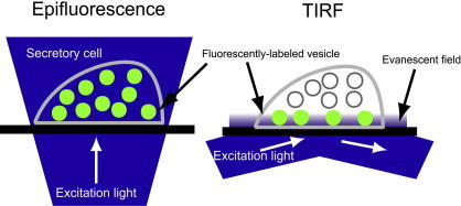 Comparison of epifluorescence versus total internal reflection fluorescence microscopy. The thin layer of illumination is an evanescent field produced by an excitation light beam in a glass cover slip that is incident at a high angle upon the solid-solution interface at which the cells adhere. Thus, an evanescent wave arises on the cell–substrate interface and penetrates a small distance (∼150 nm) into the cells.