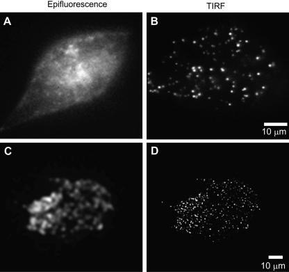 Epifluorescence versus objective lens-type total internal reflection fluorescence. Images were captured with Olympus 1.45 NA 100× objective lens and an argon ion laser source of wavelength 488 nm, using the side-port configuration depicted in Fig. 2. (A and B) PC12 cells containing secretory vesicle marker neuropeptide Y-Venus (NPY-Venus). (C and D) PC12 cells containing secretory vesicle marker rabphilin-mRFP. The images were recorded by a cooled monochrome CCD camera (Imago, Till Photonics) in A and B, and recorded by EM-CCD camera (C9100-02, Hamamatsu Photonics) in C and D.