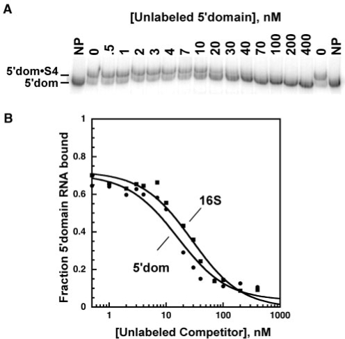 Competitive binding of Bst S4 to the 16S 5′ domain RNA. (a) S4 binding measured by gel mobility shift. 0.5 nM 32P-labeled and 0–400 nM unlabeled 5′domain RNAs were incubated with 31.5 nM Bst S4 in HKM4 buffer at 42°C. Gel is 8% polyacrylamide in TBE. NP, 32P-5′domain RNA only. (b) The fraction of complexed 32P-labeled 5′domain RNA versus competitor RNA was fit to Equation (1). Filled circles, 5′ domain (Kd, 5′domain = 5.5 ± 2.6 nM); filled squares, 16S rRNA (Krel = 1.6 ± 0.8).
