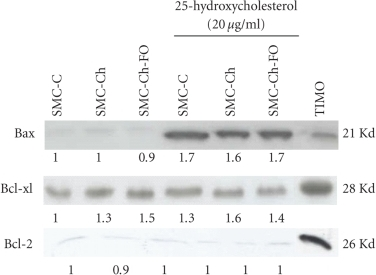 Representative Western blots showing expression levels of Bax, Bcl-xl, and Bcl-2 on SMC cultures at baseline (SMC-C, SMC-Ch, and SMC-Ch-FO) and changes in protein expression after treatment of SMC cultures with 20 μg/mL 25-hydroxycholesterol for 24 hours. Equal amounts of proteins were separated by electrophoresis and processed for immunoblotting. Similar results were obtained in three separate experiments. The ratios were calculated by using O.D protein band reading and normalized against a control (SMC-C) for each protein.