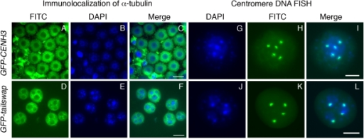 Lack of centromere function in meiosis causes micronuclei to form in GFP-tailswap pollen.Immunolocalization of alpha-tubulin outlines the nuclear envelope in microspores of GFP-CENH3 and GFP-tailswap pollen (A–F). GFP-tailswap pollen contains multiple micronuclei. Centromere DNA FISH shows that micronuclei contain 1–2 chromosomes each, as opposed to 5 chromosomes in a normal A. thaliana haploid pollen genome (G–L). The pollen grain shown in J–L has three micronuclei. Two contain one chromosome each, while the third contains two chromosomes.