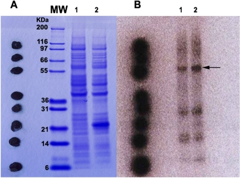 Analysis of isotope 75Se-cysteine incorporation.(A) Profile of expressed protein products on a 12% SDS-PAGE gel. (B) Autoradiogram profile of expressed products corresponding to the proteins on SDS-PAGE. Lane 1: Expression products of E.coli BL21 containing plasmid SjTGR-pET41a. Lane 2: Expression products of E.coli BL21 containing plasmids SjTGR-pET41a and pSUABC. MW: Protein molecular weight marker. The black dots on the SDS-PAGE gel are the expression products of E.coli BL21 containing plasmids SjTGR-pET41a and pSUABC. The expression products containing isotope 75Se-cysteine (SeCys) were dotted on the SDS-PAGE gel after electrophoresis as a positive control for autoradiography. The black arrow indicates the SjTGR selenoprotein developed by autoradiography.