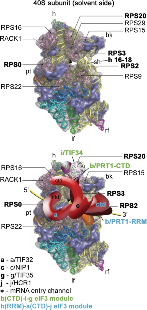 A model of two eIF3 modules bound to the opposite termini of the scaffold b/PRT1 subunit situated near the mRNA entry channel of the 40S subunit. (Upper panel) The Cryo-EM reconstruction of the 40S subunit is shown from the solvent side with ribosomal RNA represented as tubes. Ribosomal proteins, with known bacterial homologs and placement, are shown as pink cartoons and labeled (adapted from (57)). Positions of RPS0, 2, 3 and 20 and 18S rRNA helices 16–18 are highlighted in bold. The mRNA entry channel is designated by an asterisk. (Lower panel) Hypothetical location of S. cerevisiae eIF3 on the back side of the 40S subunit based on the data presented in this study and elsewhere, including the interactions between RPS0 and a/TIF32-NTD; RPS2 and j/HCR1; RPS2 and 3 and a/TIF32-CTD; helices 16-18 of 18S rRNA and a/TIF32-CTD; and RPS3 and 20 and g/TIF35 (see text for details). The schematic representations of b/PRT1-CTD and i/TIF34 were replaced with the X-ray structure as in Figure 4C. Two eIF3 modules represented by the b/PRT1-CTD–i/TIF34–g/TIF35 and the b/PRT1-RRM–a/TIF32-CTD–j/HCR1 are color-coded in green and blue, respectively. The yellow lines represent mRNA.