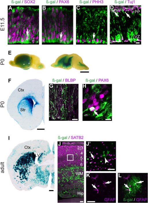 Enhancer 434 is active in cortical progenitor cells. (A-C) Immunohistochemistry demonstrated LacZ expression in progenitor cells at E11.5 that co-expressed SOX2 (A), PAX6 (B) and PHH3 (C). LacZ was also expressed in a few postmitotic neurons in the preplate marked by Tuj1 (D). X-Gal staining of whole mount P0 brains (E) and sections (F) demonstrated reporter activity in the VZ. (G, H) Immunohistochemistry using ß-Gal antibody combined with antibodies for RGC markers BLBP (G) and PAX6 (H). (I, K, L) In adult animals, the majority of enhancer 434-LacZ+ cells were in GFAP+ astrocytes throughout the forebrain. A subset of non-astrocyte like cells expressed SATB2 (J, J'). Arrows represent co-expression of LacZ and the indicated markers. Hip, hippocampus; WM, white matter. Scale bars: (D) 50 μm, (E) 250 mm, (F) 500 μm, (G) 25 μm, (H) 10 μm, (I) 500 μm, (J) 100 μm, (J') 50 μm, (K) 25 μm.