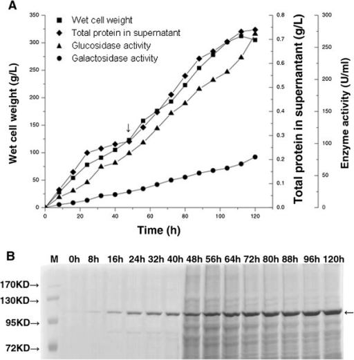 Time course of recombinant enzyme properties and protein analysis during fermentation. A. Wet cell weight (square), total protein in supernatant (diamond), β-glucosidase activity (triangle), and β-galactosidase activity (circle) were assessed as a function of time for 120 h fermentation in a 5 L fermenter. The arrow shows the time point for addition of glucose. B. Total protein in culture supernatant was assessed by Coomassie Brilliant Blue R-250 staining following SDS-PAGE (10%) during high cell density fermentation in a 5 L fermenter. Arrow at approximately 120 kDa shows the recombinant β-glucosidase. Each lane shows culture supernatant at indicated time and M = protein size marker.