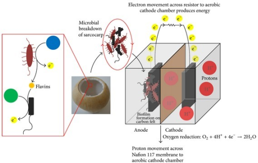 Diagram illustrating mechanistic reactions in coculture MFCs. Black schematic depicting nonelectrochemically active microorganisms, such as E. coli; red schematic depicting electrochemically active microorganisms, such as S. oneidensis; blue and green schematics depicting energy sources most favourable for breakdown by electrochemically active and nonelectrochemically active microorganisms, respectively.