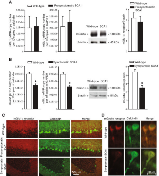 Reduced mGlu1 receptor mRNA and protein levels in the cerebellum of symptomatic SCA1 mice. mGlu1 receptor mRNA and mGlu1α receptor protein levels in the cerebellum of presymptomatic and symptomatic SCA1 mice (and their age-matched wild-type littermates) are shown in (A) and (B), respectively. Values are means ± S.E.M. of 3–4 mice per group. *p < 0.05 (Student's t test) vs. the corresponding wild-type mice; t values = 5.3 (mRNA values normalized to GAPDH); 6.5 (mRNA values normalized to calbindin); and 7.075 (densitometric analysis of immunoblots). Immunohistochemical analysis of mGlu1α receptors and calbindin in the cerebellum of SCA1 mice and wild-type littermates are shown in (C) and (D).