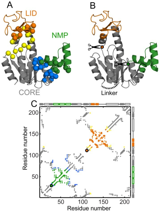 Structures and contact maps of mutants of AKE.Domains of AKE are colored as in Fig. 1 (CORE: grey, NMP: green, LID: orange). (A) Interface deletion mutants of AKE. All marked residues are represented by their C-α atoms. The CORE-NMP interface is composed of interactions between the green (NMP) and the blue (CORE) residues. The mutant, ΔCORE-NMPi, has these interactions deleted. The CORE-LID interface is composed of interactions between the orange (LID) and the yellow (CORE) residues. This interface is deleted in the mutant ΔCORE-LIDi. (B) Circular permutants of AKE. The WT N- and C-termini are linked by a 4 glycine loop (dotted black line). New N- and C-termini are generated by cutting at one of the positions indicated by the circles (CP-NMPcut: green; between residues 29 and 30; CP-LIDcut: orange; between residues 111 and 112). (C) The C-α contact map of the open state of WT AKE with the intra-domain contacts colored as in Fig. 1C. The CORE-NMP interface interactions (33 blue contacts) are deleted in ΔCORE-NMPi while the CORE-LID interface interactions (22 yellow contacts) are deleted in ΔCORE-LIDi. The absolute contact order of the interfaces is: CORE-NMP interface: 29.58 and CORE-LID interface: 39.73. Colored circles (CP-NMPcut: green and CP-LIDcut: orange) mark the (x, x) location of the first residue x, of the CPs. The closed state specific contacts (Fig. 1C, red contacts; appropriately renumbered in the CPs) are not shown here but are present in the conformational transition simulations.