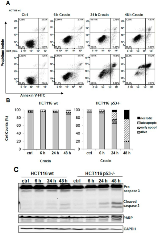 Apoptosis induction after crocin treatment. (A) Annexin-PI measurements of untreated cells (Ctrl) and two cell types, HCT116 wild-type (wt) and HCT116 p53−/−, treated with 10 mM crocin for 6, 24, and 48 h. The profile represents Annexin-V-FITC staining on the x-axis and PI on the y-axis; (B) Quantitative analysis of percentage gated for viable, necrotic, early apoptotic, and late apoptotic HCT116 wild-type (wt) and HCT116 p53−/− cells treated with 10 mM crocin for 6, 24, and 48 h; (C) Lysates prepared from two cell types, HCT116 wild-type (wt) and HCT116 p53−/−, untreated (Ctrl) or treated with 10 mM crocin for 6, 24, and 48 h, were analyzed by anti-caspase3, anti-PARP, and anti-GAPDH Western blotting. GAPDH served as the internal control for equal loading; and (D) Lysates prepared from two cell types, HCT116 wild-type (wt) and HCT116 p53−/−, untreated (Ctrl) or treated with 10 mM crocin for 6, 24, and 48 h were analyzed by anti-γH2AX, and anti-GAPDH Western blotting. GAPDH served as the internal control for equal loading. The ratios represent protein alterations compared to the control.