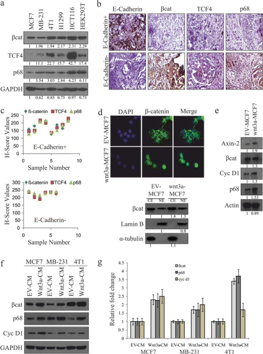 Canonical Wnt signaling upregulates p68 expression. (a) Whole cell lysates (WCLs) were prepared from MCF7, MDA-MB 231, 4T1, H1299, HCT116 and HEK293T cells. β-catenin, transcription factor 4 (TCF4) and p68 protein levels were analysed by immunoblotting (IB). Densitometry values are given below the blots. (b, c) Breast cancer patient samples (E-cadherin+ and E-cadherin-) were analysed by immunohistochemistry (IHC) using antibodies against β-catenin, TCF4 and p68, as well as E-cadherin, to differentiate the samples. H scores of these samples were determined. (d) Wnt3a-MCF7 and empty vector (EV)-MCF7 stable cells were immunostained with β-catenin (primary) and Alexa Fluor488 (secondary, Green) antibodies and observed under fluorescence microscope to see its localisation pattern. Images were captured along with DAPI-stained nuclei at 600X magnification (scale: 10 μm) (top). Cytoplasmic and nuclear extracts were prepared from Wnt3a-MCF7 and EV-MCF7 stable cells and were analysed for β-catenin by IB. Densitometry values are given below the blots (bottom). (e) WCLs of Wnt3a-MCF7 and EV-MCF7 stable cells were analysed for Axin-2, β-catenin, Cyclin D1 and p68 proteins by IB. Densitometry values are given below the blots. (f, g) MCF7, MDA-MB 231 and 4T1 cells were serum starved for 24 h before treatment with Wnt3a condition medium (Wnt3a-CM). WCLs and total RNAs were prepared from 24 h post-treated cells to check the expression of β-catenin, p68 and Cyclin D1 by IB and qRT-PCR.