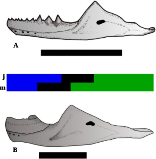 Reconstruction of the dentary growth.A) Juvenile individual; B) Mature individual. The tricolor, bar represents the regions of dentary: Blue = the tooth row; Black = diastema; Green = the posterior region; j = the regions in juvenile individual, and m = regions in mature individual Scale bars 1 cm.
