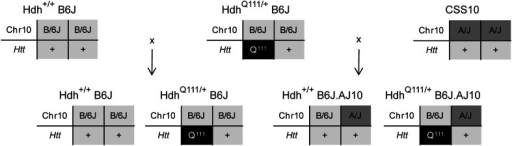 HdhQ111 knock-in mice with different chr10 genetic backgrounds. Representative diagram of the breeding scheme showing the manner in which both chr10—AJ or B6J—and Htt alleles—wild type (+) or HdhQ111 knock-in allele (Q111)—were passed to the F1 progeny mice used in this study. The actual CAG size of the HdhQ111 knock-in allele in the paternal mice was 139 CAGs while in the F1 progeny ranged from 133 to 149 CAGs