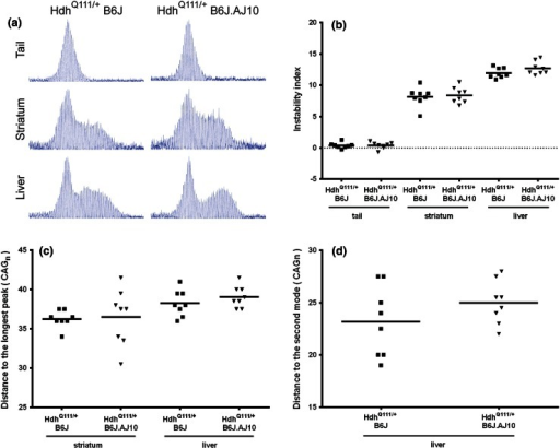 HdhQ111/+B6J.AJ10 mice showed a mild increase of liver somatic repeat instability when compared to HdhQ111/+B6J mice. a GeneMapper traces of PCR-amplified Htt CAG repeats from tail, striatum and liver of representative 5 months HdhQ111/+B6J (144 CAGs) and HdhQ111/+B6J.AJ10 (141 CAGs) mice. b Somatic repeat instability was quantified from GeneMapper traces by determining an instability index for tail, striatum and liver of each mouse. Additionally, to capture the different patterns of repeat instability in liver and striatum, we measured c the distance between the constitutive repeat mode and the longest repeat after background correction and d the distance between the modes of the constitutive and somatically expanded repeats. HdhQ111/+B6J (n = 8) mice are represented in squares and HdhQ111/+B6J.AJ10 (n = 8) mice in triangles