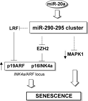 MiR-290–295 cluster is causatively involved in MEF senescence. MiR-290–295 cluster induces senescence by activating the INK4a/ARF locus. Possible mechanisms are: (i) LRF down-regulation with activation of p19ARF and p53 and (ii) p16INK4a up-regulation by EZH2 down-regulation. Other candidate targets are members of the MAPK family, among which MAPK1/ERK1, known to activate cell proliferation. The induction of p16INK4a by miR-20a (see Fig. 2C) could be mediated by miR-290–295 cluster.