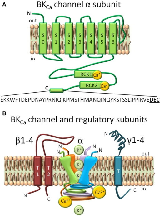 Structural domains in BKCa channels and regulatory subunits. (A) BKCa is composed by 7 transmembrane domains (S0–S7) and a long intracellular C-terminus. S0–S4 form the voltage sensing domain, and S5–S6 conform the pore-gating domain. Ca2+ biding sites are highlighted in the Regulator of Potassium Conductance (RCK) 1 and RCK2 domains. A C-terminal 50 amino acid splice insert, DEC, is highlighted. (B) Regulatory BKCa subunits. Homotetramer model of the pore-forming α subunit, the two spanning domain regulatory β subunits (1–4), and single spanning domain γ (1–4) subunits. The loop of β4 subunit confers to BKCa α subunit its resistance to toxin inhibition (Meera et al., 2000).