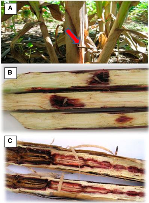 Field procedure for administering the treatments and scoring phenotypic data. Artificial inoculation with Macrophomina phaseolina using the toothpick method (A). Longitudinally split stalk of resistant (B) and susceptible (C) genotypes showing contrasting tissue lesion and stalk disintegration by the pathogen.