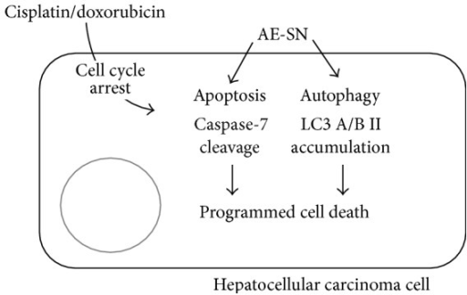 Illustration of the integrated-cell-death mechanism activated by AE-SN and either cisplatin or doxorubicin in HCC cells.