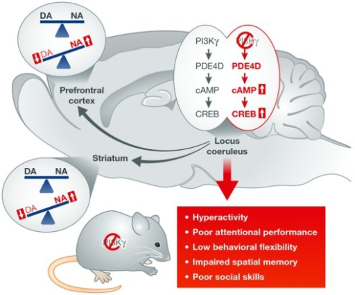 Role for PI3Kγ signaling in core symptoms of ADHDPI3Kγ is abundant in noradrenergic neurons of the locus coeruleus (LC), which constitute the main source of noradrenaline in the brain. PI3Kγ gene KO in the mouse leads to increased CREB activation via elevation of cAMP levels in the LC and alters the dopamine/noradrenaline (DA/NA) balance in projection areas (prefrontal cortex and striatum). Those modifications facilitate the development of core ADHD-related phenotypes, including hyperactivity and attention deficits, as well as secondary features such as memory and social impairments. Overexpression of CREB in the LC of normal animals produces similar behavioral changes, and down-regulation of CREB activity in the LC of mutant mice reverses the phenotype.