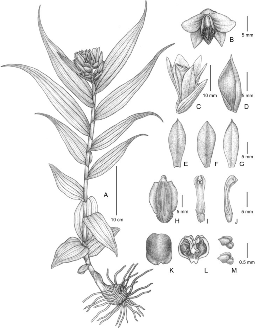 Thuniopsis cleistogama.A. a plant in inflorescence, B. flower, front view, C. flower, lateral view, D. bract, E. dorsal sepal, F. petal, G. lateral sepal, H. lip, I. column, ventral view, J. column, lateral view, K. anther cap, dorsal view, L. anther cap, ventral view, M. pollinaria. Drawn by Yun-Xiao Liu from L. Li 19.