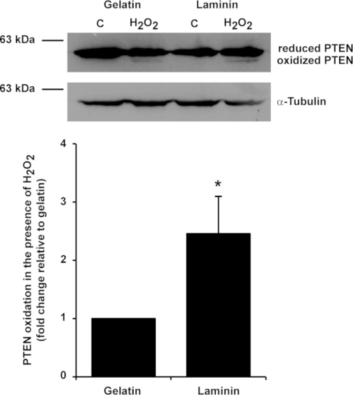 PTEN oxidation levels in HUVEC on different ECMs. Western blots for PTEN after non-reducing SDS-PAGE and subsequent quantification of PTEN oxidation levels in HUVEC on different ECMs showed that in the presence of H2O2, PTEN was oxidized in an ECM-dependent manner, since endothelial cells cultured in laminin showed increased PTEN oxidation when compared with cells cultured in gelatin. Percentage of oxidized/reduced PTEN obtained for each ECM in each experiment was normalized by the percentage obtained for gelatin (values show the mean and SEM; N=7; Mann–Whitney U test, *p<0.03).