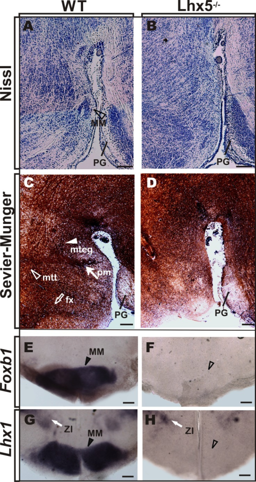 MM is absent in Lhx5 mutants. (A,B) Nissl staining in sagittal sections of control mice at E18.5 reveals the MM (arrowhead) that appears absent in Lhx5 mutants. (C,D) Comparable sections processed for Sevier–Munger silver staining reveal the fx (empty arrow), pm (filled arrow), mtt, (empty arrowhead), and mteg (filled arrowhead) tracts, in control but not in mutant littermates (anterior is to the left). (E–H)In situ hybridization for Foxb1 and Lhx1 in E18.5 coronal sections stained the MM in controls (arrowhead) and showed no expression in Lhx5 mutants. Note the presence of Lhx1 expression in the ZI (white arrow). Abbreviations: fx, fornix; MM, mamillary; mteg, mammillotegmental; mtt, mammillothalamic; PG, pontine gray; pm, principal mamillary; ZI, zona incerta. Scale bar: 400 μm.