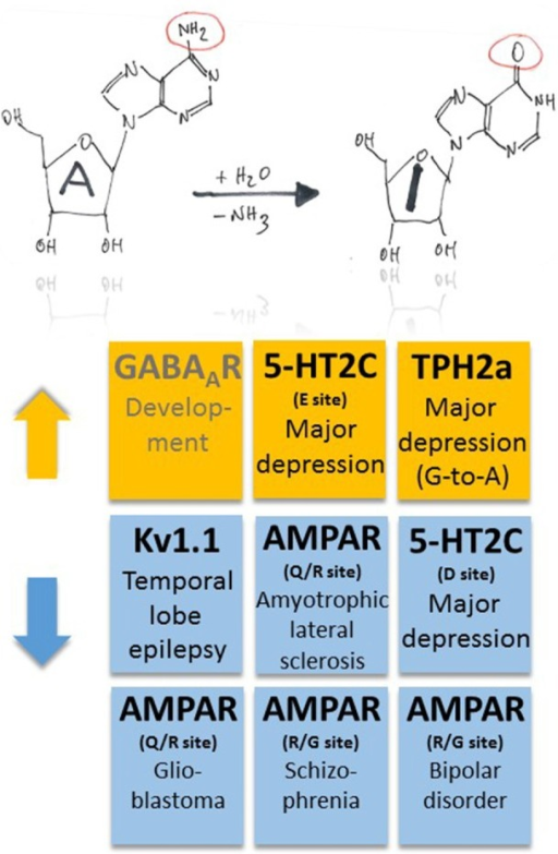 Pathophysiological implications of altered ADAR-dependent RNA editing in disease. Both up- and down-regulation of A-to-I RNA editing (indicated by orange and blue colors, respectively) were associated with several, different diseases. Note that up-regulation of GABAAR α3 RNA editing makes an exception as it plays a role in development (indicated by gray text color).