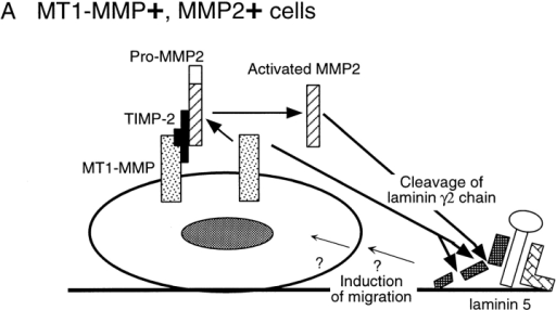 Schematic model for mechanisms of MMP-dependent Ln-5 cell migration.