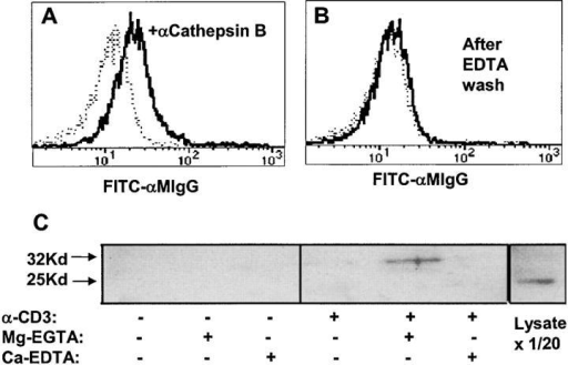Surface cathepsin B on TCR-activated CTL is released by EGTA and is the single chain form. CD8+ cloned human CTL were stimulated with plate-bound anti-CD3 for 2 h at 37°C, washed with PBS, and (A) incubated with PBS or (B) 0.53 mM EDTA in PBS for 10 min at 37°C. After washing, cells were incubated with anti-cathepsin B (heavy line) followed by anti–mouse Ig-FITC (dashed line shows control with no anticathepsin B). (C) Anti-CD3–treated CTL as in A and B were incubated with 2 mM Mg-EGTA or Ca-EDTA in HBSS for 10 min at 37°C. Supernatants were analyzed by blotting with anti-cathepsin B. The last lane shows whole CTL dissolved in SDS sample buffer and run directly (1/20 of the cell-equivalent input of other lanes).