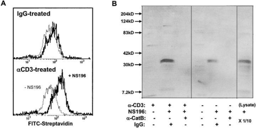 Surface cathepsin B on TCR-activated T cells is active and the target of NS-196. (A) Detection of biotinylated NS-196 on the CTL surface after degranulation. Flow cytometry of CD8+ cloned human CTL RS-56 after culture on wells coated with anti-CD3 or isotope control for 2 h, followed by treatment with or without 1 μM NS-196, which was detected by FITC-streptavidin. (B) Identification of cathepsin B as the molecular target of NS-196. CTL clone RS-56 was incubated for 2 h on anti-CD3– or IgG-coated wells, followed by incubation with or without 0.1 μM NS-196. Cells were lysed with Triton X-100 and immunodepleted with beads containing anticathepsin B antibody or control rabbit IgG. The remaining lysate was run on a 12% nonreduced SDS gel, blotted onto nitrocellulose, probed with Streptavidin-HRP, and developed using ECL. The right lane shows the biotinylation pattern when the whole CTL lysate was labeled with 0.1 μM NS-196 and run directly (1/10 of the cell-equivalent input of other lanes).