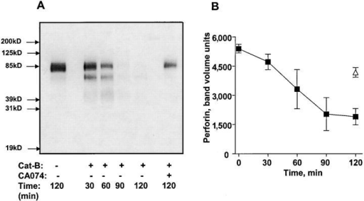 Perforin cleavage by cathepsin B. (A) Perforin from CTL extracts was treated with 258 ng/ml purified cathepsin B for various times and analyzed by blotting with anti-perforin antibody. (B) Mean densitometric analysis of perforin degradation by cathepsin B. Three experiments are shown.