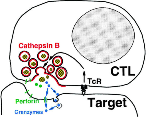 Surface cathepsin B model for cytotoxic lymphocyte self-protection.