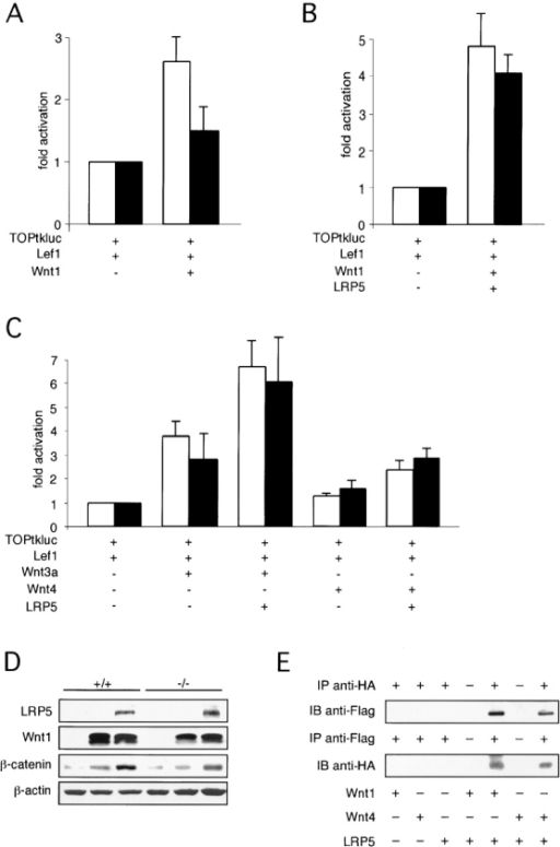 LRP5-dependent activation of gene expression by Wnt proteins. (A) Wnt1 activates Lef1-dependent gene expression in wild-type but poorly in Lrp5−/− primary osteoblasts. (B) Cotransfection of LRP5 in Lrp5−/− osteoblasts allows Wnt1 to activate Lef1-dependent gene expression to wild-type levels. (C) Cotransfection of LRP5 with Wnt3a-conditioned medium or an expression vector for Wnt4 in wild-type (white bars) and Lrp5−/− primary osteoblasts (black bars). (D) Western blot analysis to confirm expression of transfected plasmids and to demonstrate the ability of Wnt1-LRP5 cotransfection to stimulate cytoplasmic β-catenin accumulation. (E) Direct binding of LRP5 to Wnt1 or Wnt4. COS-7 cells were transfected with Flag-LRP5 and HA-Wnt1 or HA-Wnt4 as indicated. LRP5 or Wnts were immunoprecipitated from the cell lysate using anti-Flag or anti-HA antibody, subjected to SDS-PAGE and immunoblotted with anti-HA and anti-Flag antibody, respectively.