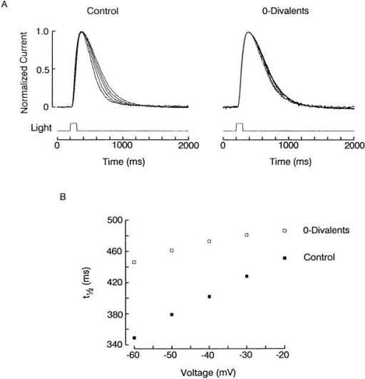 Voltage-dependent effects of divalents on the photocurrent kinetics. (A, left) Normalized light responses (100-ms flashes, 9.5 × 1014 photons s−1 cm−2), recorded at different holding voltages between −60 and −20 mV, in 10-mV increments. The time course became more rapid with membrane hyperpolarization. (Right) Photocurrents recorded in the same cell after removal of external Ca2+ and Mg2+: the time course became independent of membrane potential and had a kinetics similar to that obtained at the most depolarized voltages in control conditions. (B) Plot of the photoresponse half-width as a function of membrane potential. The change in the presence of Ca2+ and Mg2+ (▪) is substantially more pronounced than after their removal (□). The two tend to converge at the more depolarized range of values.