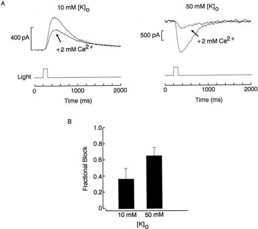 Interaction between calcium blockade and potassium permeation in the light-sensitive conductance. (A) A cell was voltage clamped at −60 mV and stimulated with a 100-ms flash while superfused either with divalent-free solution or after introducing 2 mM Ca2+. (Left) Both extracellular solutions contained the normal potassium concentration (10 mM), whereas (right) the test was performed with elevated [K]o (50 mM), hence the inwardly directed photocurrents. Calcium induced a more pronounced reduction of the light response when it was added to the high-potassium solution. Light intensity 6.1 × 1013 photons s−1 cm−2 (left) and 6.9 × 1014 photons s−1 cm−2 (right). (B) The histogram shows the average blockade for cells tested under the two conditions (n = 3 and 2, respectively).