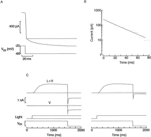 Relaxation of the membrane current after abrupt hyperpolarization. (A) A photoreceptor was voltage clamped at −20 mV and continuously illuminated (1.5 × 1014 photons s−1 cm−2) to activate a steady photocurrent. The voltage was stepped to −60 mV, causing a sudden current jump, due to the reduction in driving force on potassium ions, followed by a slower further decrease in current amplitude. (B) Semi-logarithmic plot of the relaxation phase, showing that its time course followed an exponential time course. (C) Protocol to analyze voltage-induced time-dependent changes in the photocurrent. (Left) A cell was superfused with high-potassium (50 mM) ASW, and the membrane potential was maintained at 0 mV. A sustained step of light was applied (1.5 × 1014 photons s−1 cm−2) and, when the photoresponse was nearly steady, the holding voltage was stepped to −70 mV (L+V). To assess the contribution of non–light-dependent ionic currents, a similar voltage-step was subsequently administered in the dark (V). This current record was subtracted from the previous one to remove leakage, possible voltage-dependent current, and residual uncompensated capacitative currents. (Right) The result is shown, illustrating the time course of the photocurrent alone in response to the voltage jump. The initial inward transient rapidly decays to a reduced plateau level.