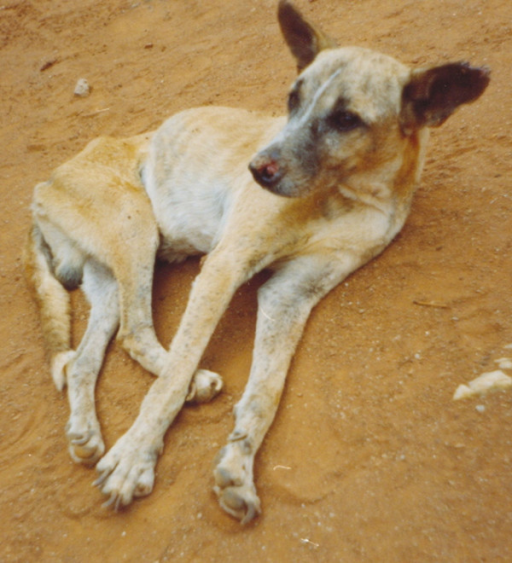 Canine visceral leishmaniasis. A dog displaying a typical clinical picture of visceral leishmaniasis.