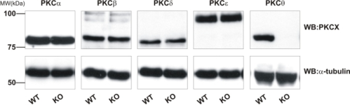 PKC isoforms are not upregulated in PKCθ−/− mice.Platelets lysates from wild-type (WT) or PKCθ−/− (KO) mice were assessed for PKC isoform expression by SDS-PAGE and western blotting using specific antibodies for PKCα, -β, -δ, -θ and -ε. Membranes were stripped and re-probed for α-tubulin as indicated to ensure equal loading of protein. Blots are representative of three independent experiments.