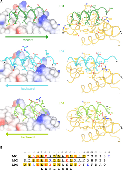 Cocrystal Structures of α-Parvin-CHC with Paxillin LD1, LD2, and LD4(A) Detail of the α-parvin-CHC complexes with LD1 (top), LD2 (middle), and LD4 (bottom). The left panel shows electrostatic surface renditions of α-parvin-CHC with the bound LD peptides represented by a combination of ribbon, ball-and-stick (side-chains), and cylinder (main chain) modes to indicate directionality. The right panel shows ribbon representations of α-parvin-CHC (gold) and LD peptides including those side-chains within a contact radius of 4 Å as ball-and-stick models.(B) Sequence alignment of LD peptides. Those residues ordered in the crystals are underlined; acidic residues are colored red, and basic ones are blue. Residues in contact with the protein within a radius of 4 Å are boxed. The pseudo-palindromic axis of LD1 is shown as a dashed line.