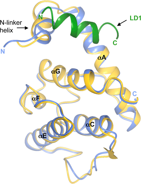 Cocrystal Structure of α-Parvin-CHC with Paxillin LD1Superposition of the ribbon representations of α-parvin-CHC in blue and its complex with the LD1 peptide in gold and green, respectively. Secondary structural elements are indicated.