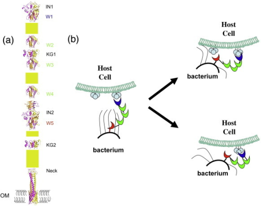 Modular architecture of Hia and putative two-step adhesive mechanism. (a) Modular architecture of Hia adhesin. While the structures of IN1, W1, KG1, W3, IN2, W5, Neck, and transmembrane anchor/translocator domains are determined crystallographically, W2/W4 and KG2 are modeled based on W1/W3/W5 and KG1, respectively. Yellow rectangles represent the Hia sequences that are yet to be structurally characterized, including the predicted N-terminal GANG and C-terminal TTT domains. (b) A putative two-step adhesive mechanism utilized by Hia/Hsf-like adhesin to form an intimate association between the bacterium and the host cell. The adhesive Trp-ring domains with different binding capacities are shown in blue and red. The nonadhesive Trp-ring domains are shown in green.