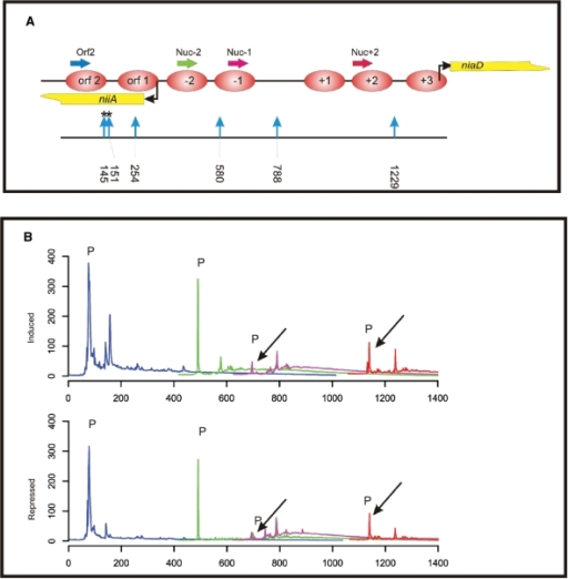 Chromatin restriction enzyme accessibility assay employing the library approach. (A) Overview of the positions of HaeIII restriction endonuclease sites in the niiA-niaD region. Restriction site positions are indicated by vertical blue arrows and numbers below the arrows indicate cutting site positions in the bidirectional promoter region. Asterisks above two sites (145 and 151) indicate cutting events obtained in the assay at positions which do not correspond to a HaeIII site and which probably represent sites of HaeIII star activity. Nucleosome positions, transcriptional start points and analytical PCR primer positions are as described in Figure 2. (B) Overlapping fragment size profiles in the niiA-niaD region obtained by fragment size analysis of libraries derived from HaeIII-treated chromatin. Primers and colour code are as in Figure 2. Two libraries are compared: (i) 'induced' indicates the profiles obtained from the library constructed from HaeIII chromatin digestion of cells treated with nitrate; and (ii) 'repressed' indicates the profiles obtained from the library constructed from HaeIII chromatin digestion of cells treated with ammonium. As in Figure 2, 'P' indicates signals originating from non-incorporated labelled primers.