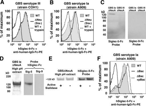 The GBS β protein mediates attachment to hSiglec-5-Fc in a Sia-independent manner. (A and B) WT GBS serotype III (A) and Ia (B) and their isogenic Sia-deficient ΔNeuA mutants were incubated with hSiglec-9-Fc and hSiglec-5-Fc, respectively, followed by PE-conjugated secondary antibodies, and analyzed by flow cytometry for Sia-dependent binding of hSiglecs. Similar analysis was performed with WT GBS serotype III (A) and Ia (B) pretreated with or without trypsin to determine protein-dependent binding of hSiglecs. (C) Western blot analysis of GBS whole cell lysates from GBS serotype Ia and III ΔNeuA mutants with hSiglec-Fc chimeras as probes. The analysis identified an ∼125-kD specific hSiglec-5 binding protein in the Ia strain. (D) Analysis of GBS extracts prepared under basic conditions (pH 9.7) also identified an ∼125-kD protein that binds hSiglec5. (E) AUS treatment (50 mU/ml for 2 h) does not affect binding of the 125-kD protein to hSiglec5. (F) WT GBS serotype Ia and isogenic mutant ΔBac (lacking the β protein), or the plasmid complemented mutant ΔBac + pBac, were incubated with hSiglec-5-Fc and PE-conjugated secondary antibody and analyzed by flow cytometry. All experiments were performed in duplicate and repeated three (A and B) or four (C–F) times with similar results. Representative experiments are shown.