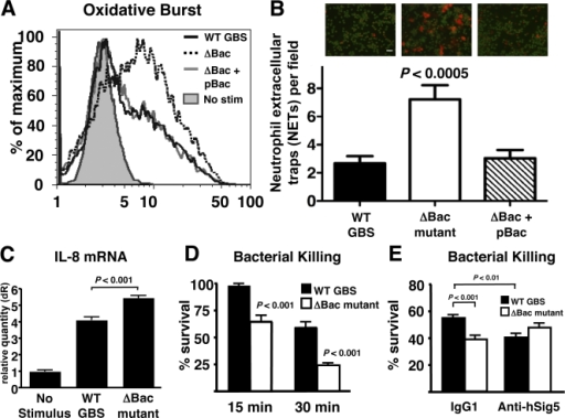 GBS β protein effects on human neutrophil activation and killing. (A) Oxidative burst activity of neutrophils exposed to GBS WT, ΔBac mutant, and complemented mutant strains. (B) Production of NETs in response to GBS WT, ΔBac mutant, and complemented mutant strains. Bar, 50 µm. (C) Comparison of WT and ΔBac mutant GBS strains in induction of IL-8 transcript from human neutrophils. (D and E) Survival of GBS WT and ΔBac mutant strains upon coincubation with human neutrophils (D), with or without coincubation with anti–Siglec-5 Ab or control Ab (E). All experiments performed in triplicate and repeated three (A–C and E) or two (D) times with similar results. A representative experiment (A, C, and D) or pooled data (B and E) are shown. The error bars represent mean value ± SD.