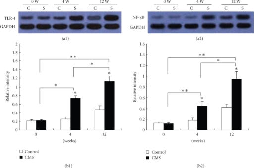 Validation of changes in TLR-4 (73 KD) and NF-κB p65 (80 kDa) protein expression by western blotting. Proteins extracted were prepared from arteries (n = 6) of mice subjected to CMS or normal conditions for 0, 4, and 12 weeks, respectively. Each lane shows representative western blots using anti-TLR4 or NF-κB p65 and anti-GAPDH bodies in (a1) and (a2), respectively. Each panel summarizes densitometric readings of band intensities normalized to GAPDH, which was measured by densitometry with Image J image analysis software.  (b1), (b2) densitometric measurements TLR4 and NF-κB p65 from Western blots, respectively. Data are mean  ± SEM. C: control group; S: chronic mild stress group (n = 6 per group). *P < .05, **P < .01 compared with the control. The data are representative of three experiments.