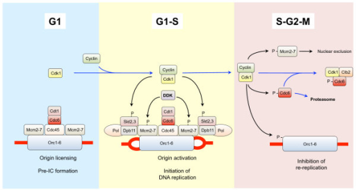 cdk1 and regulation of dna replication during g1 phase open i