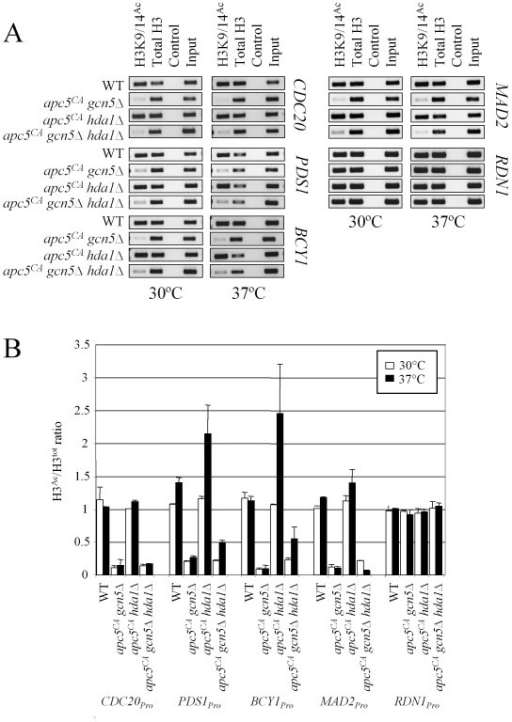 "Histone H3 acetylation at promoter regions is elevated specifically in apc5CA hda1Δ cells at 37°C. (A) ChIP was performed using lysates derived from the mutants shown and antibodies against total H3 or H3 acetylated at both K9 and K14. A mock treatment lacking antibody was used as a control. Once the crosslinks were reversed and DNA recovered, ""end point"" PCR was performed using primers against the genes shown that amplified 200 bp regions of the promoter. 10% of the reaction was used as input. (B) Two independent experiments were quantified, with the means and standard errors represented graphically, as previously described [66,70]."