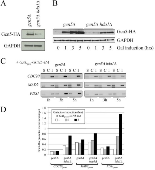 "Gcn5 promoter occupancy is kept at an equilibrium in WT cells, but increases over time in hda1 cells. (A) Western analyses of Gcn5-HA expression in gcn5Δ and gcn5Δ hda1Δ cells following a 5 hour 4% galactose-induction. Antibodies against GAPDH were used as a load control. (B) A galactose-induction time-course was performed in gcn5Δ and gcn5Δ hda1Δ cells expressing GALpro-GCN5-HA. Protein samples were removed at the times shown for Western analyses with antibodies against HA and GAPDH. (C) From the time-course described above, samples were also removed for ChIP. Recovered DNA was used as a template in ""end point"" PCR reactions. S, sample with antibody; C, control without antibody; I, 10% lysate input. (D) The gel in (C) was scanned, analyzed using ImageJ and plotted."