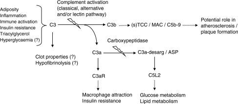 Adiposity, inflammation, immune activation, insulin resistance, hypertriglyceridaemia and, potentially, hyperglycaemia may lead to increased systemic levels of C3. C3a and C3b are generated upon activation of C3. C3b is part of the multi-step complement activation cascade that eventually leads to the formation of soluble (s) TCCs/MACs. The anaphylatoxin C3a is rapidly degraded into its desarginated form, which is also known as ASP. Both C3a and C3a-desarg/ASP can, via binding to their respective receptors (C3aR and C5L2), exert relevant effects with respect to diabetes and CVD. The solid arrows denote direct effects, the dotted arrows denote more distal effects and the lightening bolts indicate activation