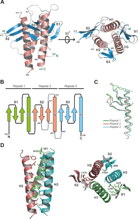 Structure of Vps30 BARA.A, overall structure of Vps30 BARA. The α-helices and β-strands are indicated with red helical ribbons and cyan arrows, respectively. Secondary structures are labeled, and residues adjacent to the disordered regions are numbered. Amino and carboxy termini are denoted as N and C, respectively. B, topology of Vps30 BARA. The α-helices and β-strands are indicated with boxes and arrows, respectively. Repeats 1, 2, and 3 are colored green, red, and cyan, respectively. The disordered regions are indicated with a broken line. C, superimposition of the secondary structural elements of repeats 2 and 3 on those of repeat 1. Coloring is as in B. D, left, ribbon representation of the three-helix bundle of BARA. Side chains involved in the interaction between helices are indicated with a stick model. Coloring is as in B. Right, ribbon representation of secondary structural elements of BARA. The side chains of conserved hydrophobic residues on the three sheets, which are bound to the grooves formed between helices, are indicated with a stick model. Coloring is as in B. All figures representing molecular structures were generated with PyMOL (47).